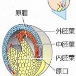 胚葉断面図解1-1
