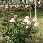 ブドウとバラ