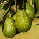 hass-avocado-945418_640